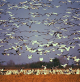 Snow Geese flock takes flight